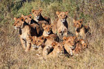 Löwenrudel, Moremi Game Reserve, Okavango-Delta