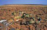 Welwitschia, Skelettküste
