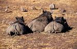 Warzenschweine, Chobe