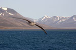 Eissturmvogel, Adventfjord