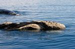 Südlicher Glattwal, Puerto Pirámides , Valdez-Halbinsel, Argentinien