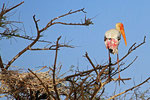 Nimmersatt-Storch,  Keoladeo-Nationalpark, Bharatpur, Rajasthan