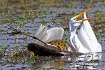 Anaconda mit Silberreiher, Hato El Cedral, Llanos