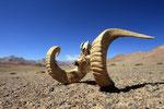 Hörner des Marco-Polo-Schafes, Pamir, Tadschikistan