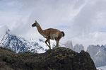 Guanako, Nationalpark Torres del Paine, Chile
