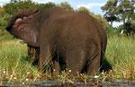 Elefant, Boro River, Moremi Game Reserve, Okavango-Delta