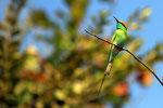 Smaragdspint, Sasan Gir, Gujarat