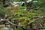Flammenbaum, Ruhengeri, Ruanda