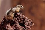 Erdhörnchen, Kalifornien