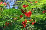 Flammenbaum, Dominikanische Republik