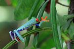 Rotaugenlaubfrosch, Tortugera Nationalpark, Costa Rica