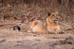 Asiatischer Löwe, Sasan Gir Nationalpark, Gujarat