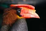 Feuerhornvogel (Buceras hydrcorax), Vogelpark Walsrode