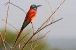 Scharlachspint, Queen Elizabeth Nationalpark,  Uganda