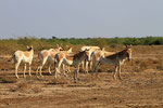 Asiatische Wildesel, Little Runn of Kutch, Gujarat