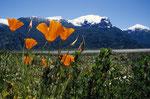 Andenmohn, Bariloche, Argentinien