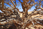 Weihrauchbaum, Wadi Dokah