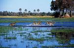Lechwe, Moremi Game Reserve, Okavango-Delta