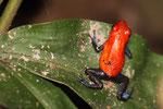 Erdbeerfrosch, Tortugera Nationalpark, Costa Rica