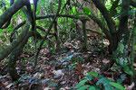 Regenwald, Djeke Triangle, Republik Kongo