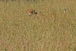 Löwe, Murchison Falls Nationalpark, Uganda