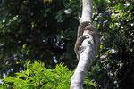 Dreifinger-Faultier (Bradypus variegatus), Costa Rica