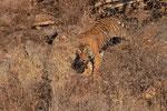 Königstiger (Panthera tigris tigris), Ranthambore Nationalpark, Indien