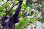 Bonobo, Demokratische Republik Kongo