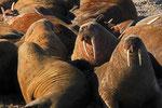 Walross, (Odobenus rosmarus), Spitzbergen