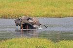 Waldelefant, Mbeli-Bai, Parc National Nouabalé-Ndoki, Republik Kongo