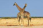 Giraffe, Nxai Pan Nationalpark