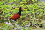 Jacana-Blatthühnchen, Bigi Pan Naturreservat, Surinam