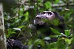 Schimpanse, Kibale Forest, Uganda