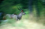 Kudu, Moremi Game Reserve, Okavango-Delta