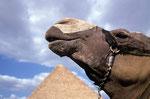 Dromedar (Camelus dromedarius), Ägypten
