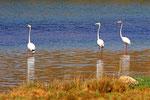 Rosaflamingos, Lagune Khor Rori