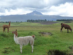 The first lamas I saw in Ecuador