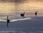 Black swans at sunset