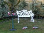 Wild parrots in Shanis garden
