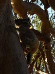 Wild koala climbing a tree :-)
