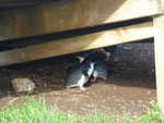 Cute tiny little penguins on Philipp Island