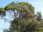 Thousands of flying foxes live in the Royal Botanical Gardens