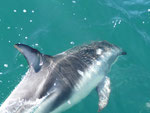 The playful Dusky dolphins
