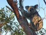 Koalas are sooooo cute