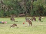 Hundreds of kangaroos in Perths Memorial Park