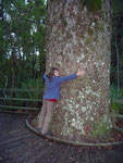 "A ""young"" Kauri tree... they can have diameters of about 3 m or more"