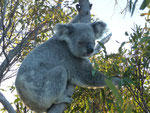 My first wild koalas :-), yay that's Australia!!! (Magnetic Island)