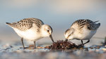 Sanderling (Calidris alba), Sept 2019 MV/GER, Bild 51