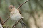 Karmingimpel weibl. (Carpodacus erythrinus), Mai 2014 MV/GER, Bild 1
