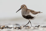 Alpenstrandläufer im PK (Calidris alpina),  Juli 2015 MV/GER, Bild 17